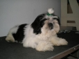 Shih Tzu, 4 meses, blanco negro